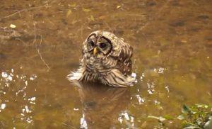 Owl Taking Bath in Bog Hero Mold Company Greensboro, NC